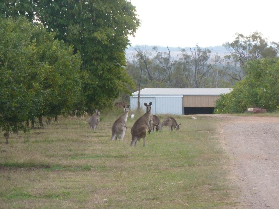 Some curious looking kangaroos in an orchard